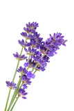 Fototapety Lavender flowers isolated on white