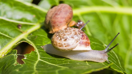 Close-up: two garden snail on a green leaf