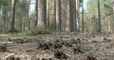 Lots of pine cones scattered on the ground