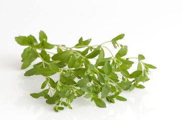 Stevia rebaudiana Bertoni trees.