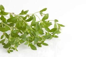 Stevia rebaudiana Bertoni trees