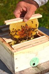 pszczoły na małej ramce z ulika weselnego w pasiece