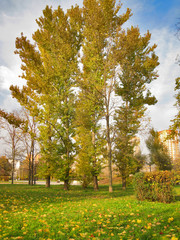 Autumn. Tall aspens in golden leafy fringe