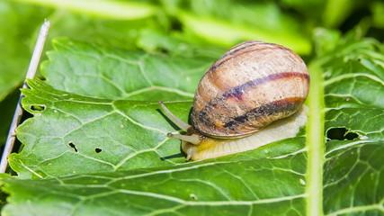 Garden Snail Creeping Down Green Foliage
