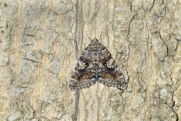 Dark crimson underwing, Catocala sponsa on wood