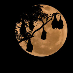 silhouetted fruit bat on tree with the moon background