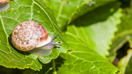 One Snail on a Green Leaf