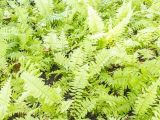 Fishbone fern