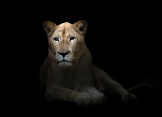 female white lion in the dark