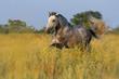 Beautiful grey lusitano horse run at the morning