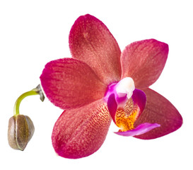 beautiful dark red with bud orchid, phalaenopsis is isolated on