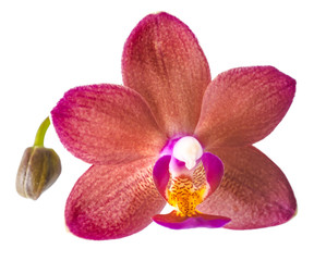 closeup of beautiful dark red with bud orchid, phalaenopsis is i