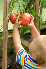 adorable boy picking tomatoes