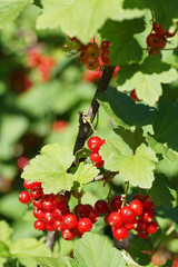 Branch of red currants on a background of green bush