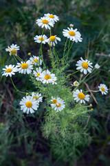 цветок белой ромашки