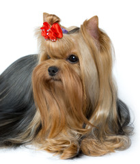 Portrait of groomed Yorkshire Terrier