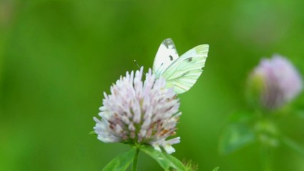 Large white feeding on flowers of red clover