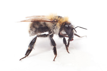 Bumblebee isolated on white