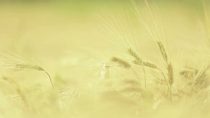 Wheat straws at sunset with green background