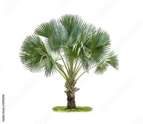 Papiers peints Palmier Plam tree isolate on white