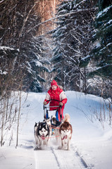 Woman musher hiding behind sleigh at sled dog race on snow in wi