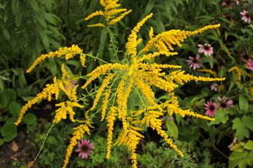 Die Blüten des Allergie auslösenden Ragweed