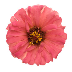 Pink zinnia isolated