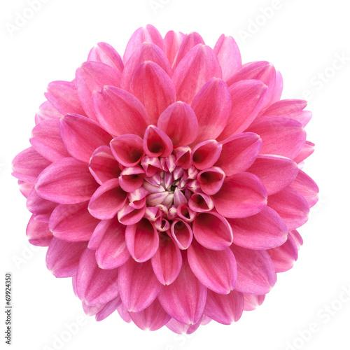 Fotobehang Madeliefjes Pink dahlia isolated