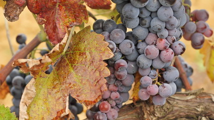Red wine grapes in a vineyard, ready for picking