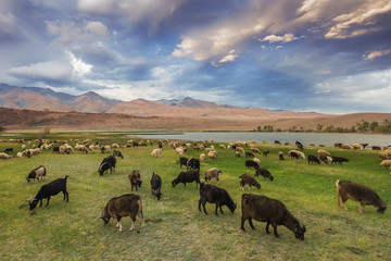 A herd of sheep and goats grazing near the lake at the foot of t