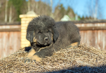Puppy breed Tibetan Mastiff