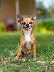 Smiling dog breed chihuahua