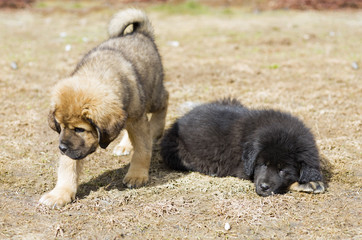 Two Puppies Tibetan Mastiff