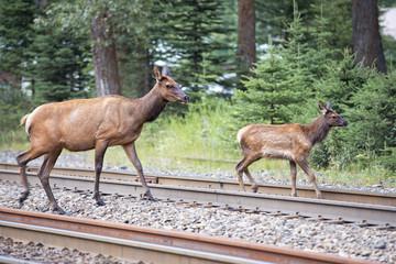 elk deers near railway station in Rocky Mountains