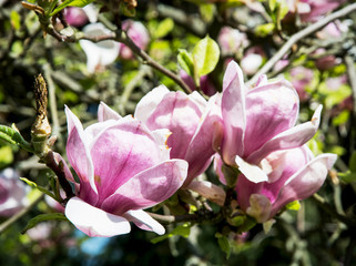 Detail of blooming magnolia tree