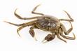 living freshwater crab - 69930748