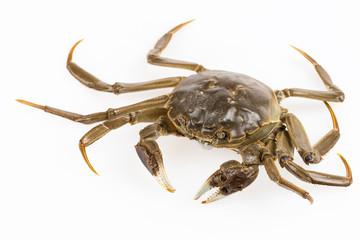 living freshwater crab