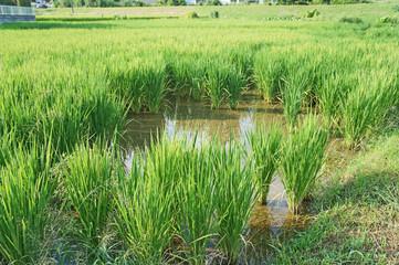ジャンボタニシに食べられた水田