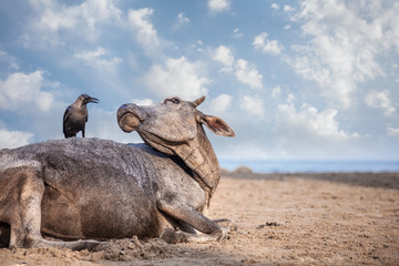 Crow on the cow in India