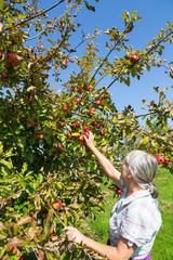 Seniorin erntet Äpfel von einem Apfelbaum