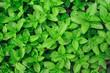 Menthe plant - 69937951