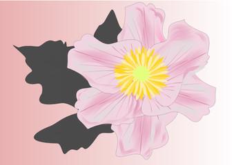 Anemone rosa
