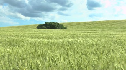 field of green wheat and cloudy sky