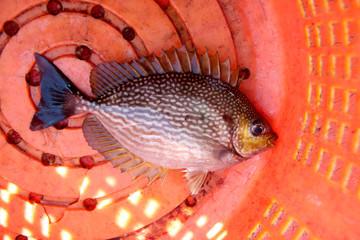 big damsel fish.