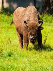 European wood bison