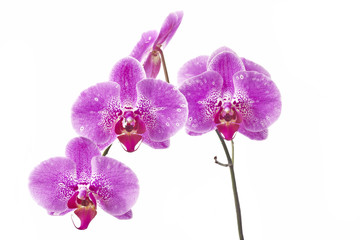 Flower orchids