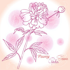 Pink background  with  one peony