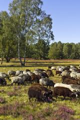 Schafe Heidschnucken Lüneburger Heide
