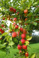 Apfelbaum- Apple Tree