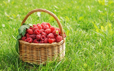 Wicker basket full of raspberry on the lawn